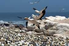 Free Cape Gannets B4 Royalty Free Stock Photos - 4127348