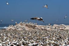 Free Cape Gannets  B6 Stock Image - 4127361