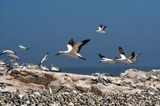 Free Cape Gannets  B8 Stock Photo - 4127410