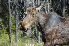 Moose Look Back Stock Photo
