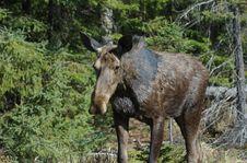 Moose Look Back Stock Image
