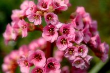 Free Pink Flowers Close Up Royalty Free Stock Images - 4128699