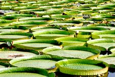 Royal Water Lily, Victoria Amazonica Royalty Free Stock Images