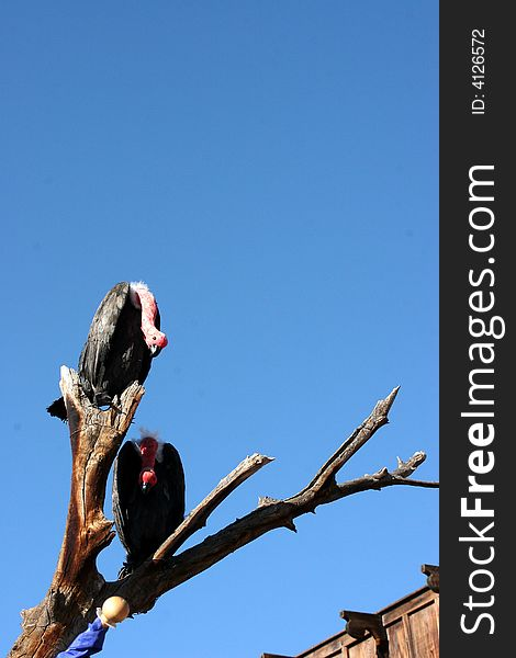 Vultures on a branch