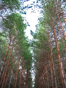 Free Pines Under The Sky Stock Images - 41222864