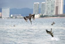 Free Pelican Postcard Stock Images - 41256134
