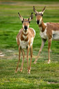 Free Antelopes Royalty Free Stock Photography - 4134847