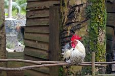 Free Rooster Sitting Quietly On Old Wooden Fence Royalty Free Stock Photos - 4130178