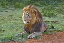 Free Male Lion Hunting Stock Photos - 4132103