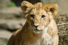 Free Cute Lion Cub Royalty Free Stock Image - 4132306