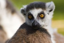 Free Cute Ring-tailed Lemur Royalty Free Stock Photos - 4132328