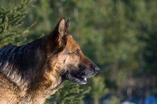 Free Germany Sheep-dog Royalty Free Stock Images - 4132389