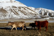 Free Cows In A Winter Landscape Stock Image - 4133781