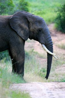 Free African Elephant Royalty Free Stock Photos - 4134028