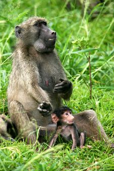 Free Chacma Baboons Stock Photos - 4134073