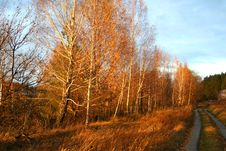 Autumn. Birch Trees In Sunset Lights Stock Photo