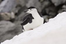 Free Chinstrap Penguin Antarctica Stock Photos - 4134203