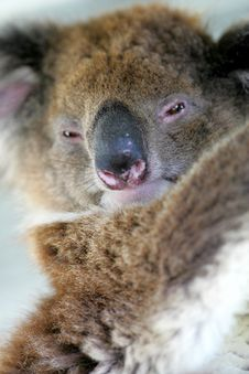 Free Australian Koala Stock Images - 4134234