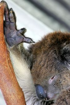 Free Australian Koala Royalty Free Stock Image - 4134246