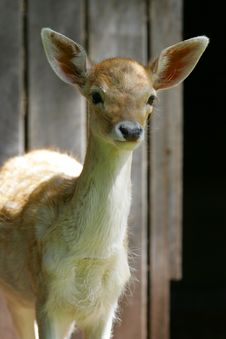 Fawn Deer Stock Photo