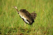 Free Bustard Bird Royalty Free Stock Photos - 4134288