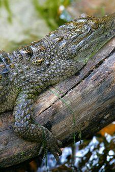 Fresh Water Crocodile Stock Photography