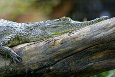Fresh Water Crocodile Royalty Free Stock Photo