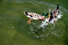 Free Ducks Stock Image - 4134951