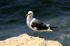 Free Seagull Stock Image - 4135021