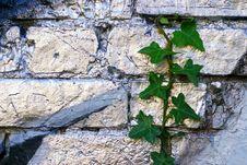 Free Grafitti Ivy Stock Photography - 4135932