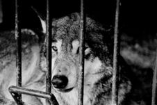 Free Wolf Stock Photography - 4136802