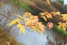 Free Maple Levaes In The Autumn Over The Water. Royalty Free Stock Image - 4136806