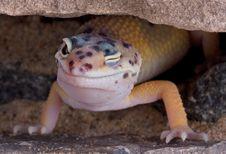 Free Leopard Gecko Winking Royalty Free Stock Photos - 4137808