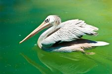 Free Crested White Pelican Bird Royalty Free Stock Images - 4138289