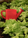 Free Watering Pot And Salad Leaves Royalty Free Stock Photography - 41323457