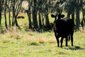 Free Black Cow In FL Pasture Stock Image - 4149031