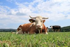 Free Close-up From A Cow. Royalty Free Stock Photos - 4140128