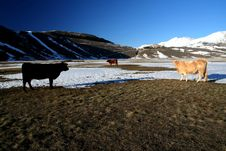 Free Castelluccio /cows In A Winter Landscape Stock Images - 4141024