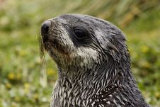 Free Young Fur Seal Stock Photos - 4141103