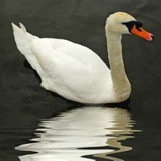 Free Beautiful Swan Royalty Free Stock Photography - 4142067