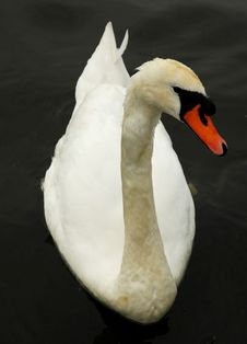 Free Beautiful Swan Stock Images - 4142124