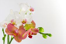 Free Red & White Orchid Stock Photos - 4142203