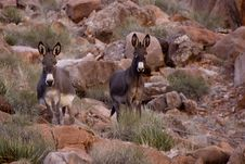 Free Wild Burros Royalty Free Stock Images - 4142669