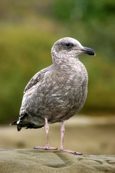 Free Seagull Royalty Free Stock Images - 4144039