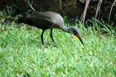 Free Black Ibis Royalty Free Stock Photo - 4146795