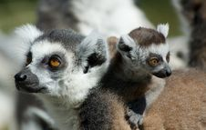 Free Baby Ring-tailed Lemur Stock Image - 4147361
