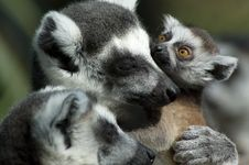 Free Baby Ring-tailed Lemur Royalty Free Stock Photo - 4147365