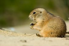 Free Prairie Dog Royalty Free Stock Images - 4147389