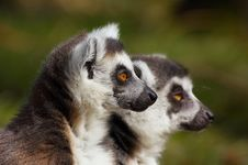 Free Ring-tailed Lemur Stock Image - 4147471