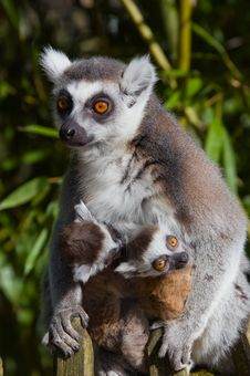 Free Baby Ring-tailed Lemur Royalty Free Stock Photos - 4147498